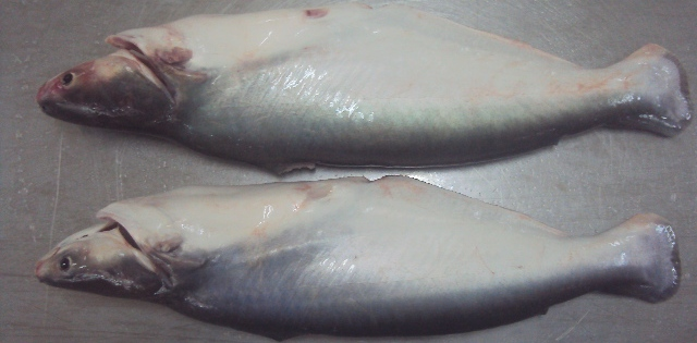 Pangasius Whole Round Fish