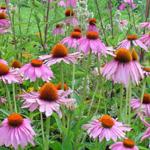 Echinacea P.E